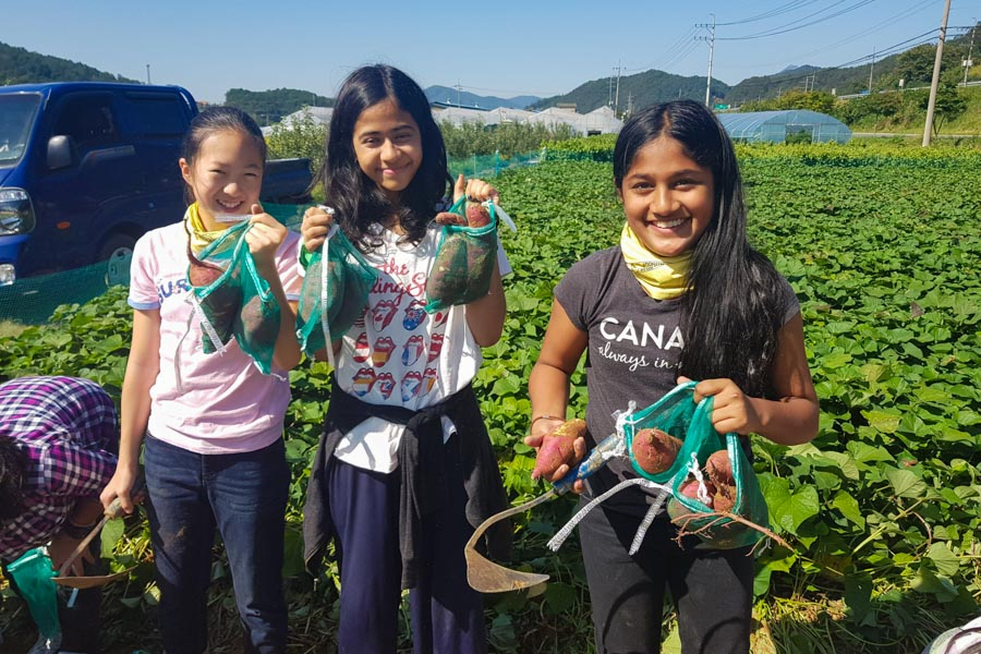 Students harvesting sweet potatoes.